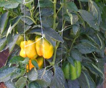 HORTOMALLAS netting-vs-raffia-in-bell-peppers